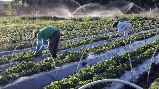 Agricultura; horta; plantação (Foto: Valter Campanato/Agência Brasil)