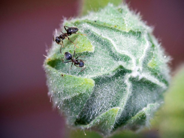23 July 2020, Mecklenburg-Western Pomerania, Pokrent: Two ants (Formicidae) run over the flower bud of a hollyhock (Alcea rosea) and look for food. Photo: Jens Büttner/dpa-Zentralbild/dpa (Photo by Jens Büttner/picture alliance via Getty Images) (Foto: dpa/picture alliance via Getty I)