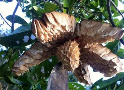 gr-responde-Magnolia ovata- pinha-do-brejo (Foto: Letícia Falcão/Creative Commons)