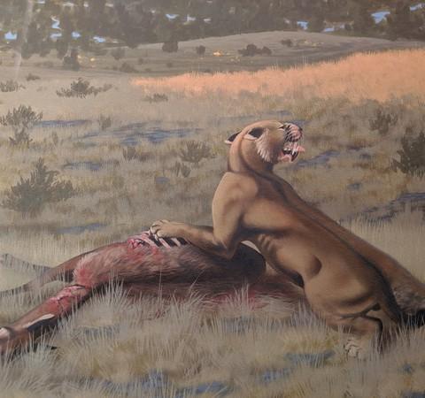 Dentes-de-sabre descoberto nos EUA era um dos maiores felinos do planeta