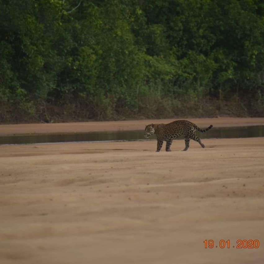 Onça-pintada é flagrada 'andando tranquilamente' às margens do Rio Branco em Roraima