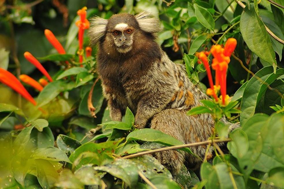 Sagui-de-tufo-branco tem origem da Caatinga e distribui-se em todo o país, ameaçando espécies nativas de outras regiões — Foto: Ananda Porto / TG