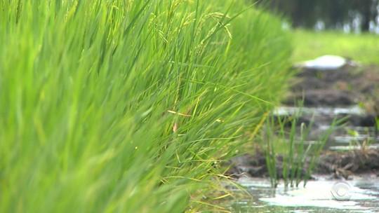 Concorrência do Paraguai preocupa produtores de arroz no Rio Grande do Sul
