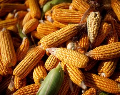 Atingido por seca, milho do Paraná pode escapar de perdas pelo frio em 20/21