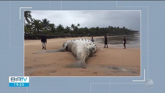 Baleia de 12 metros e filhote são encontradas mortas em praia no baixo sul da Bahia