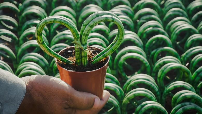 Sansevieria cylindrica aramada em formato de coração (Foto: Divulgação)