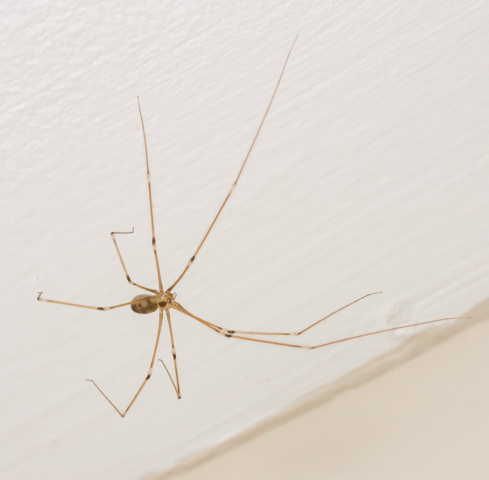 Uma aranha de pernas compridas (Foto: Matt Bertone, CC BY-ND)