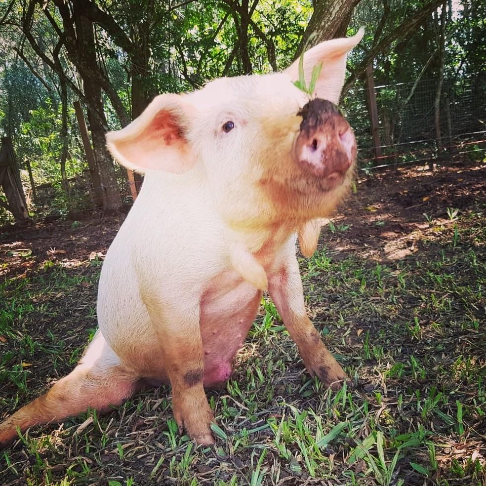 Animal ganhou tratamento gratuito para conviver com os problemas de saúde causados pela paralisia nas patas traseiras — Foto: Divulgação/Santuário Voz Animal
