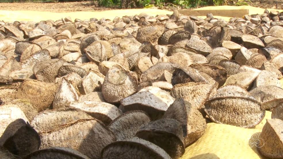 Casal colhe cerca de 500 quilos de castanhas por ano em Ariquemes (Foto: Rede Amazônica/Reprodução)