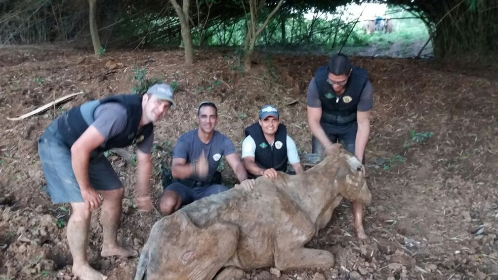 Polícia Militar Ambiental de Cerquilho resgatou boi atolado em rio (Foto: Divulgação/Polícia Militar Ambiental)