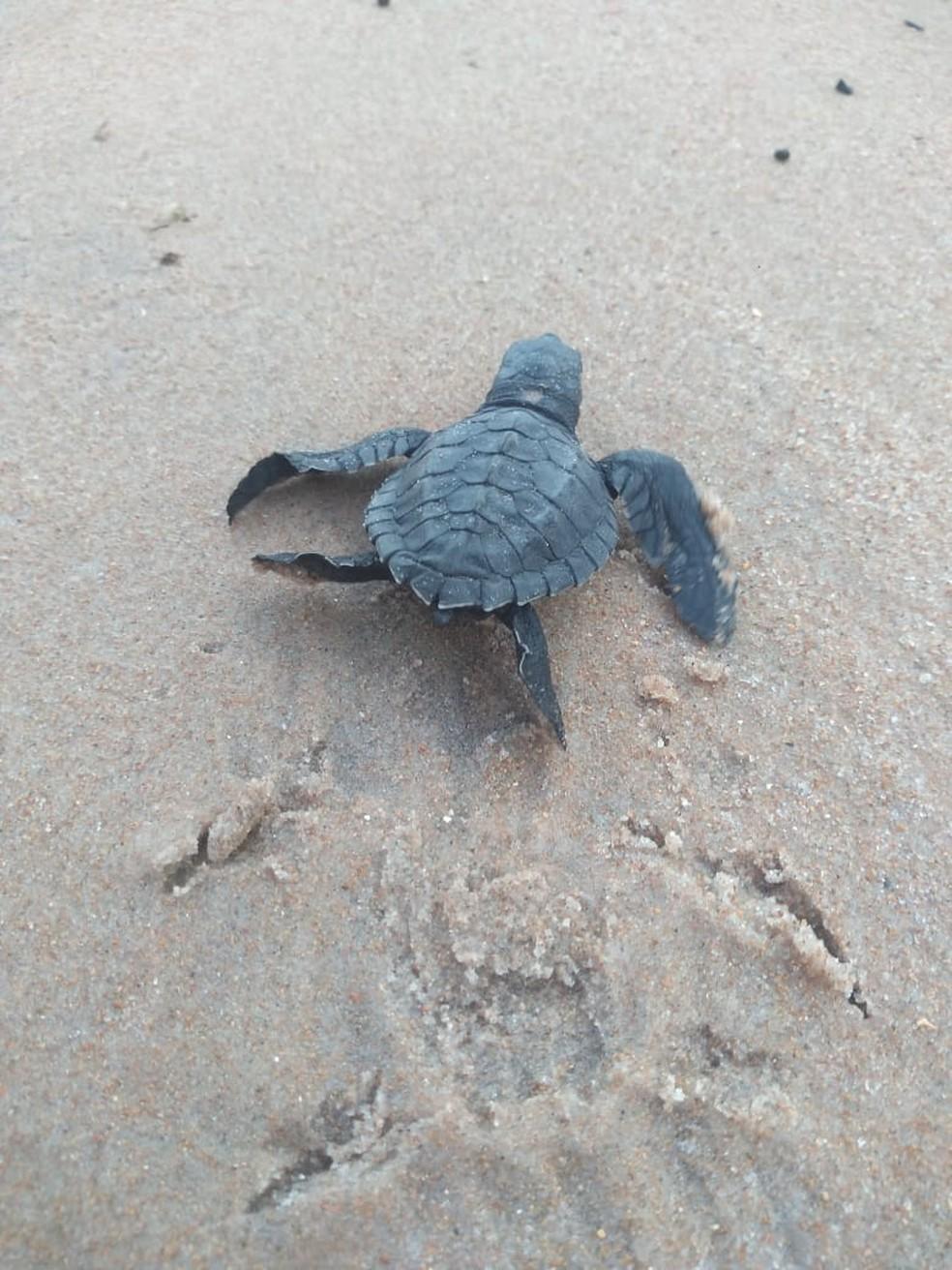 Tartarugas nasceram por 'cesariana de areia', em Ponta de Campina, na Paraíba — Foto: Divulgação/ONG Tartarugas Urbanas Guajiru