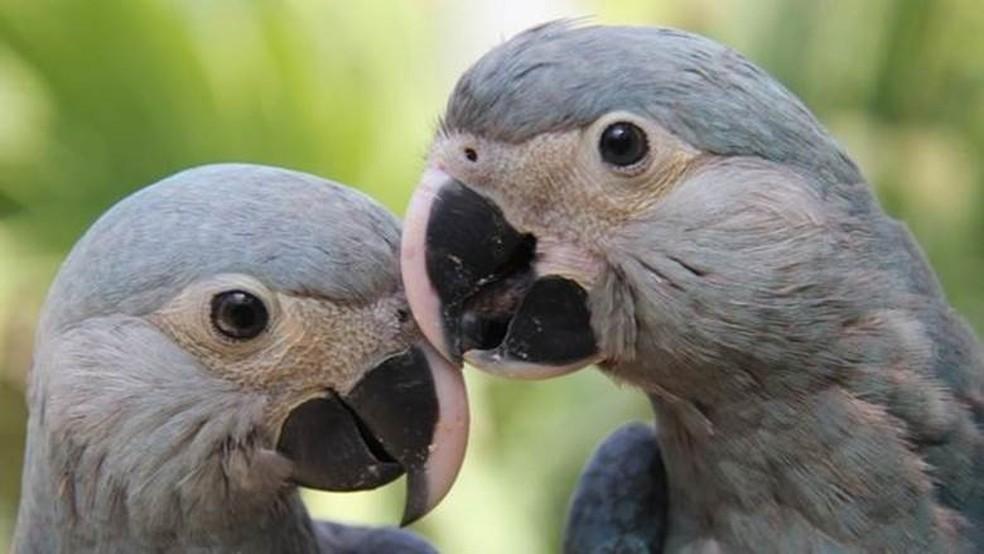 Carla e Tiago são exemplares de uma espécie que já não existe em seu habitat natural (Foto: ACTP)