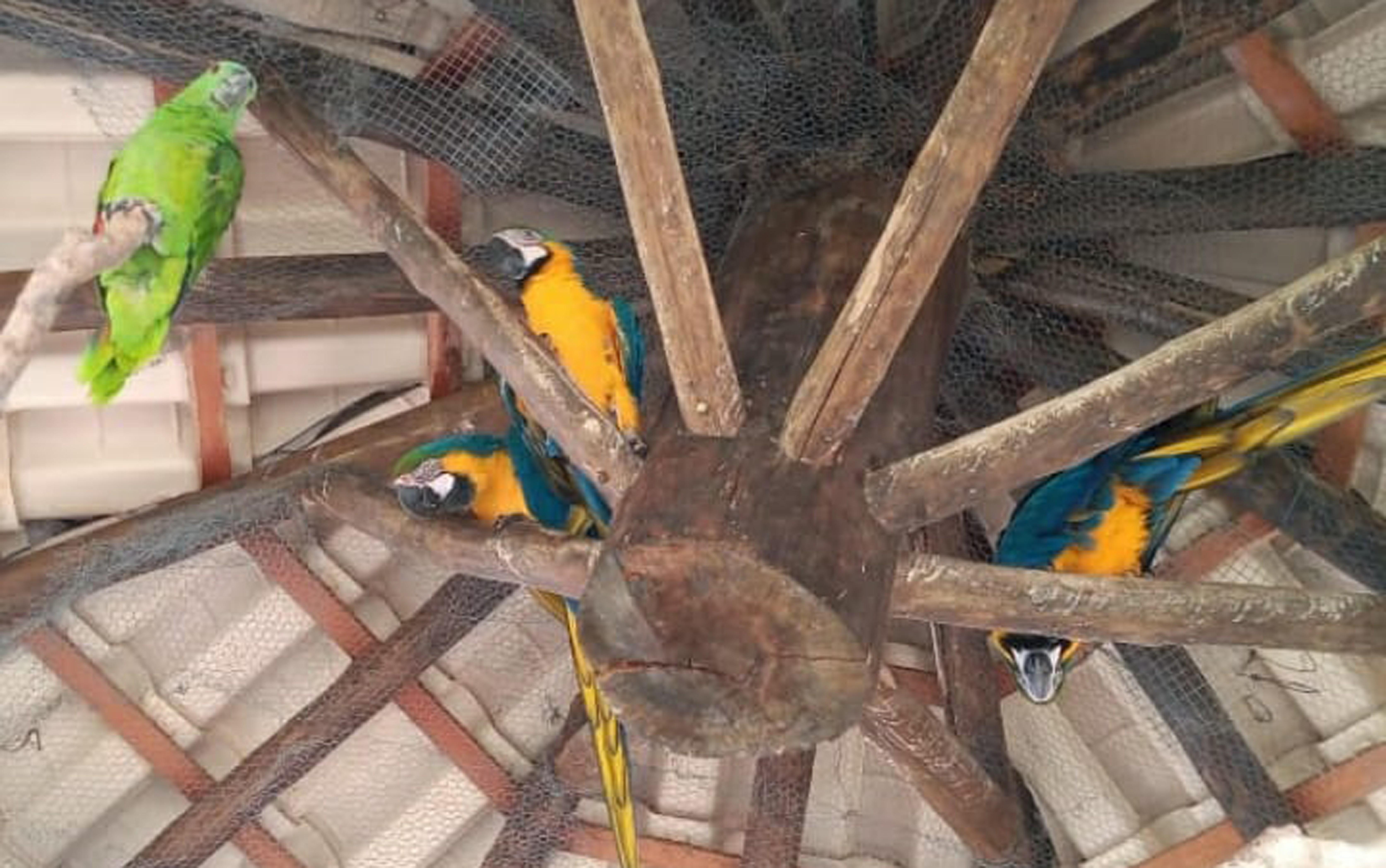 Araras ameaçadas de extinção são encontradas em cativeiro em Pedregulho, SP