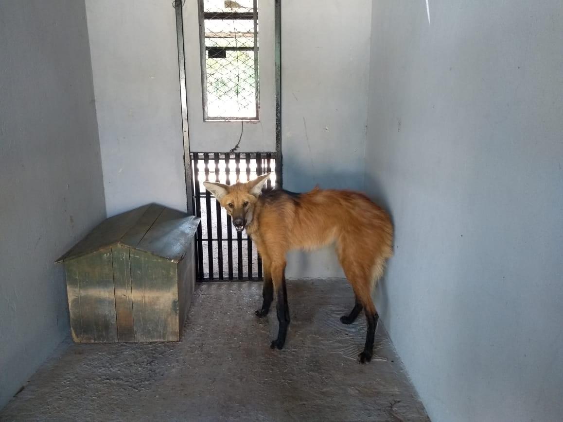 Lobo-guará foge do zoológico de Brasília enquanto passava por tratamento veterinário - Notícias - Plantão Diário