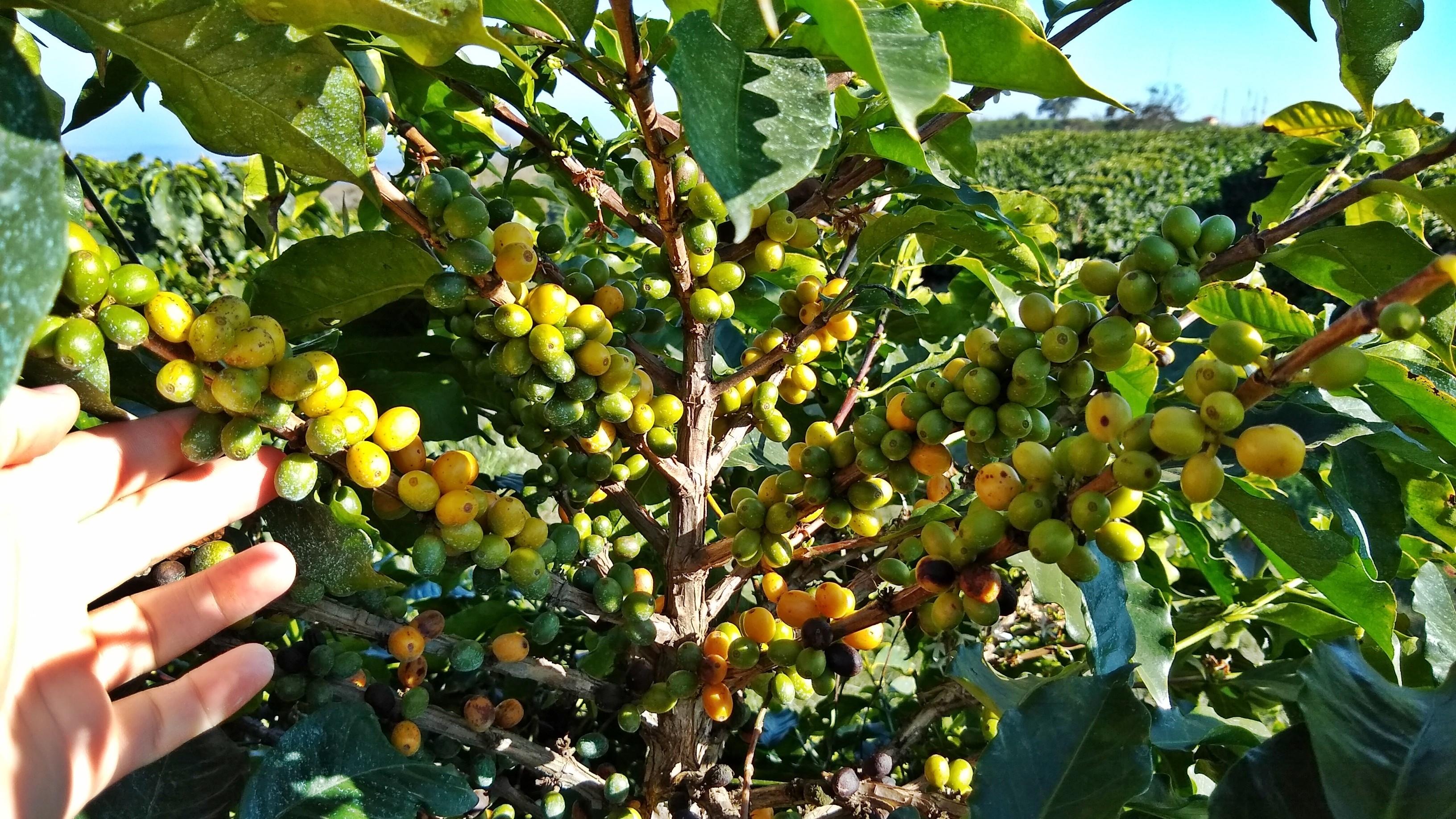 Resistência a doenças e boa produtividade do café arara atrai produtores no Sul de MG - Notícias - Plantão Diário