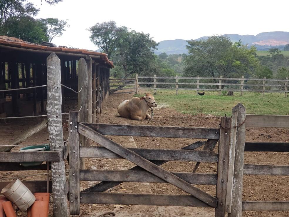 Boi resgatado em lama, agora descansa tranquilo em curral  — Foto: Nathália Bueno/TV Globo