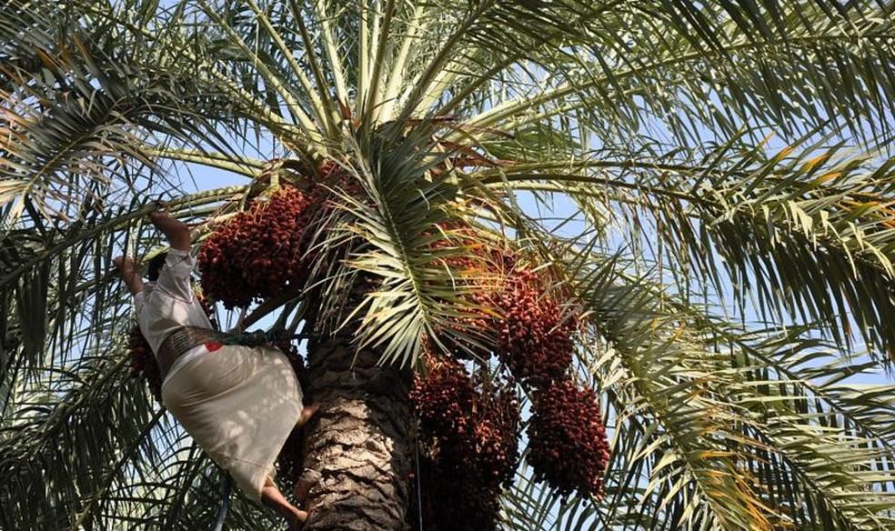 Saber como a tamareira Saqqara foi domesticada ajudará a produzir tâmaras mais resistentes às mudanças climáticas — Foto: Acervo pessoal/Óscar Pérez Escobar