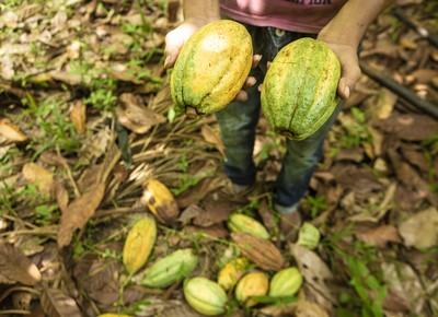 Cacau também é um dos frutos cultivados com sistema de agrofloresta (Foto: Fernando Martinho)