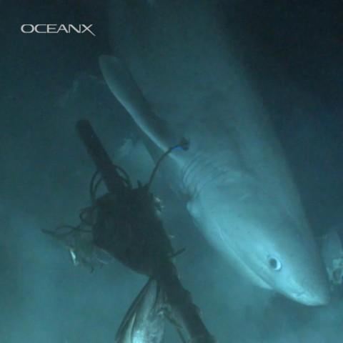 Imagem do tubarão-albafar, da espécie Hexanchus griseus, registrada pela OceanX (Foto: Reprodução/OceanX)
