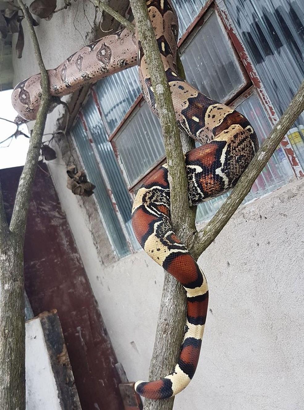 Uma das cobras, uma jiboia, chamava-se Ísis. Ela foi achada carbonizada na residência, em Itanhaém (SP) — Foto: Reprodução/Facebook