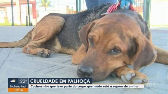 Cachorro de rua é resgatado após sofrer queimaduras em Palhoça e espera por adoção