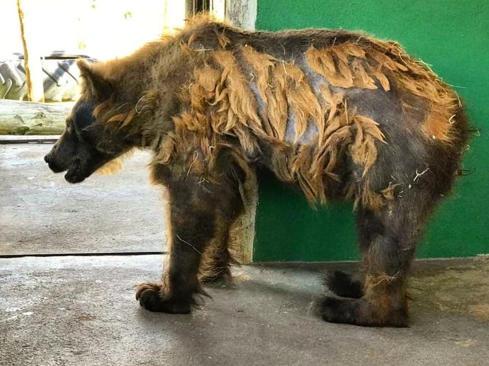 Ursa Rowena Comeca Troca De Pelos E Mostra Boa Saude Em