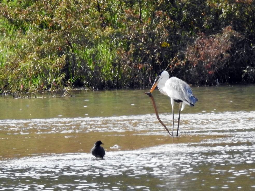A espécie vive na beira de lagos de água doce, rios, estuários, manguezais e alagados  Foto: Rubens Galdino/VC no TG
