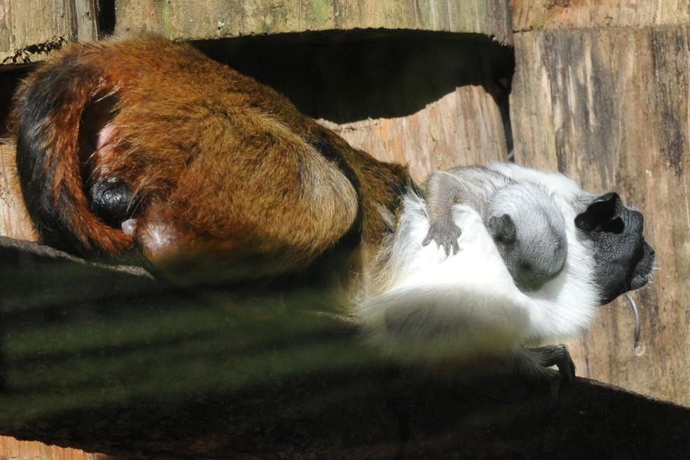 Primata ameaçado de extinção, filhote de sauim-de-coleira nasceu no Zoológico de Brasília. — Foto:  Joel Rodrigues