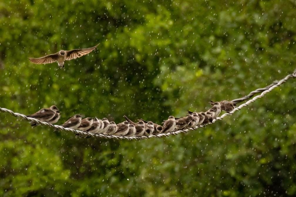 Andorinhas são flagradas tomando banho de chuva no Pantanal de MS. — Foto: André Bittar