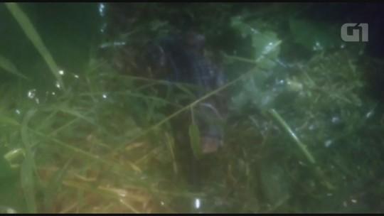 Jacaré de dois metros é encontrado em área urbana após temporal em SP