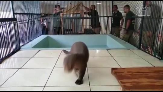 VÍDEO: ariranha da Alemanha chega ao Zoológico de Brasília