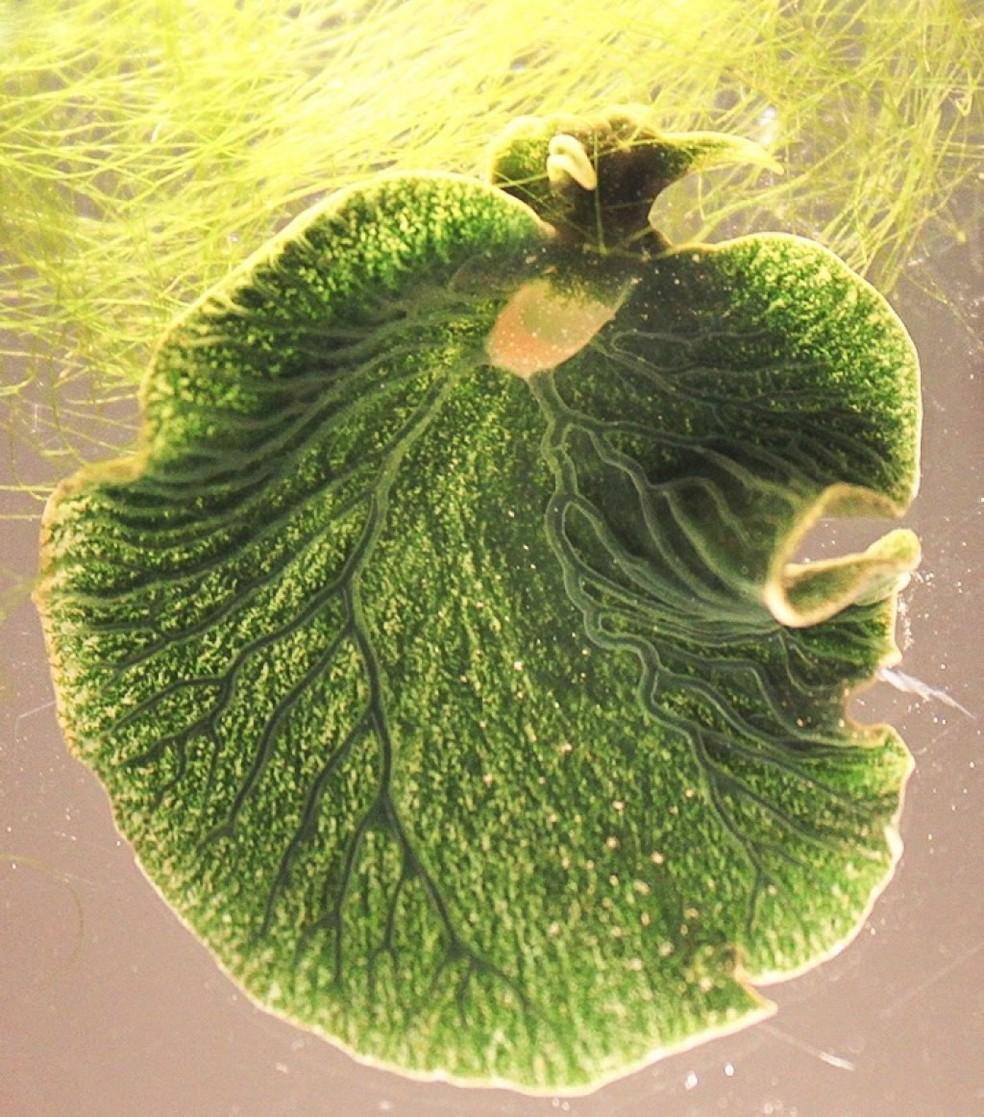 A Elysia chlorotica é um exemplo emblemático de animal fotossintético — Foto: K.Pelletreau et al. (PLOS One)