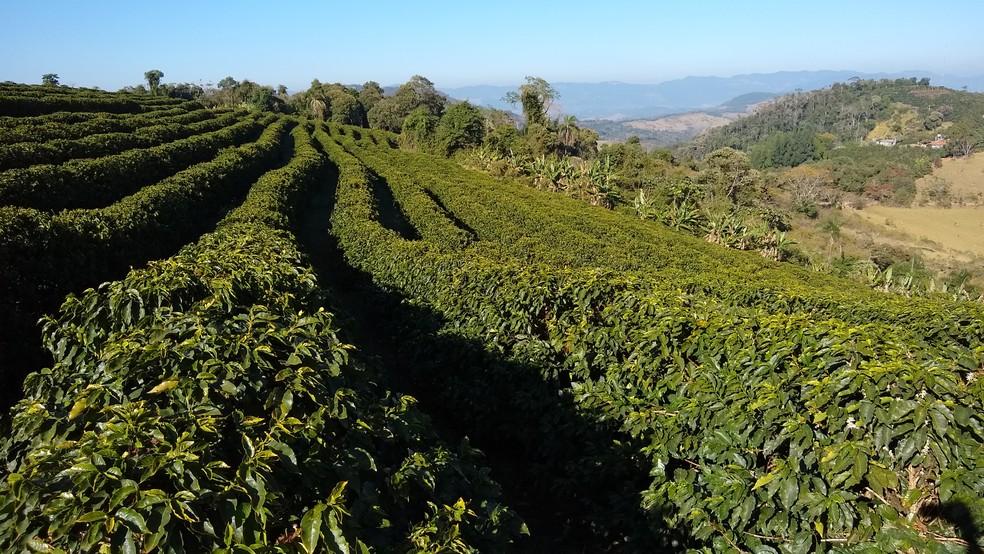 Plantação de café no Sul de Minas Gerais — Foto: Filipe Martins