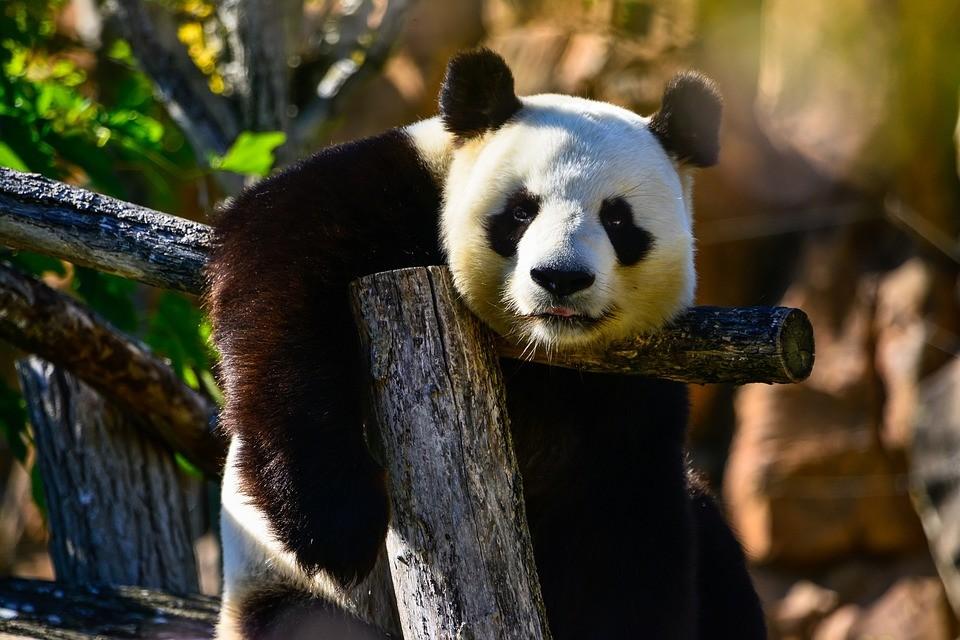 tudo o que voc precisa saber sobre o panda gigante galileu ci ncia. Black Bedroom Furniture Sets. Home Design Ideas