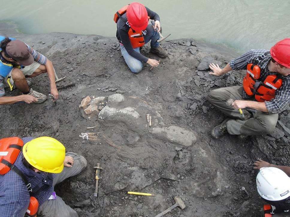 Esqueleto de peixe-boi (Culebratherium alemani) tem 20 milhões de anos (Foto: Florida Museum of Natural History )