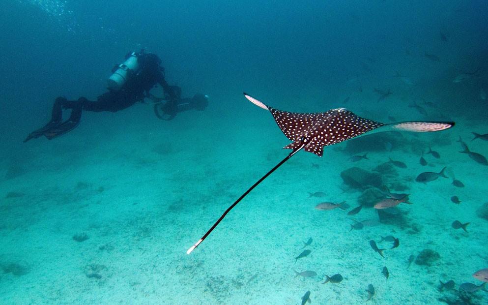 Foto mostra arraia nadando próxima a mergulhador, durante captura de imagens para o Google Street View (Foto: Catlin Seaview Survey/AP)