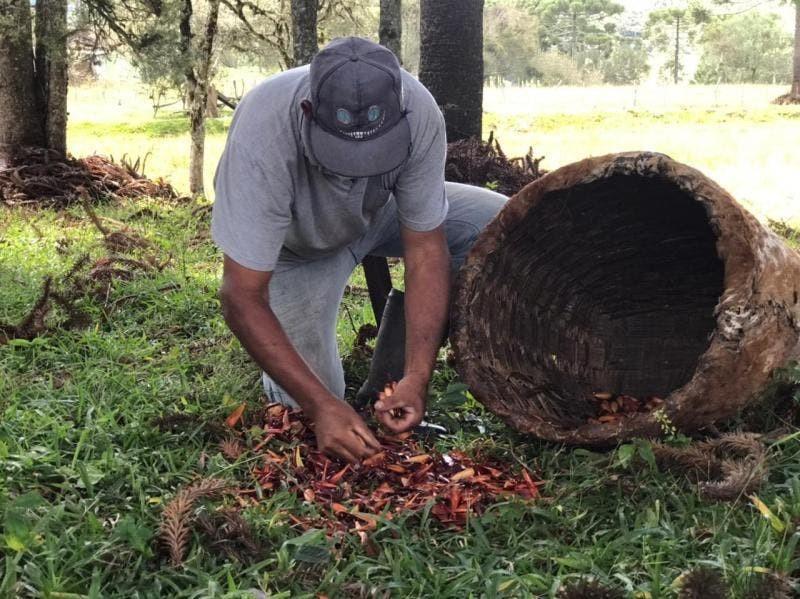 Produtores começam a colheita do pinhão em SC e esperam bons resultados