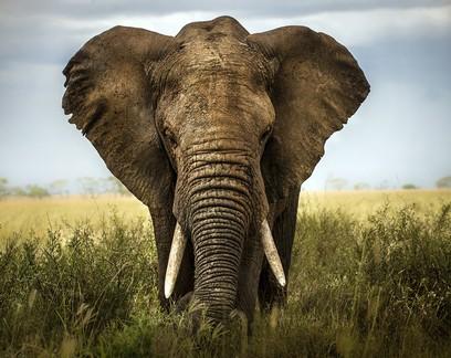 Drones salvam elefantes no Quênia
