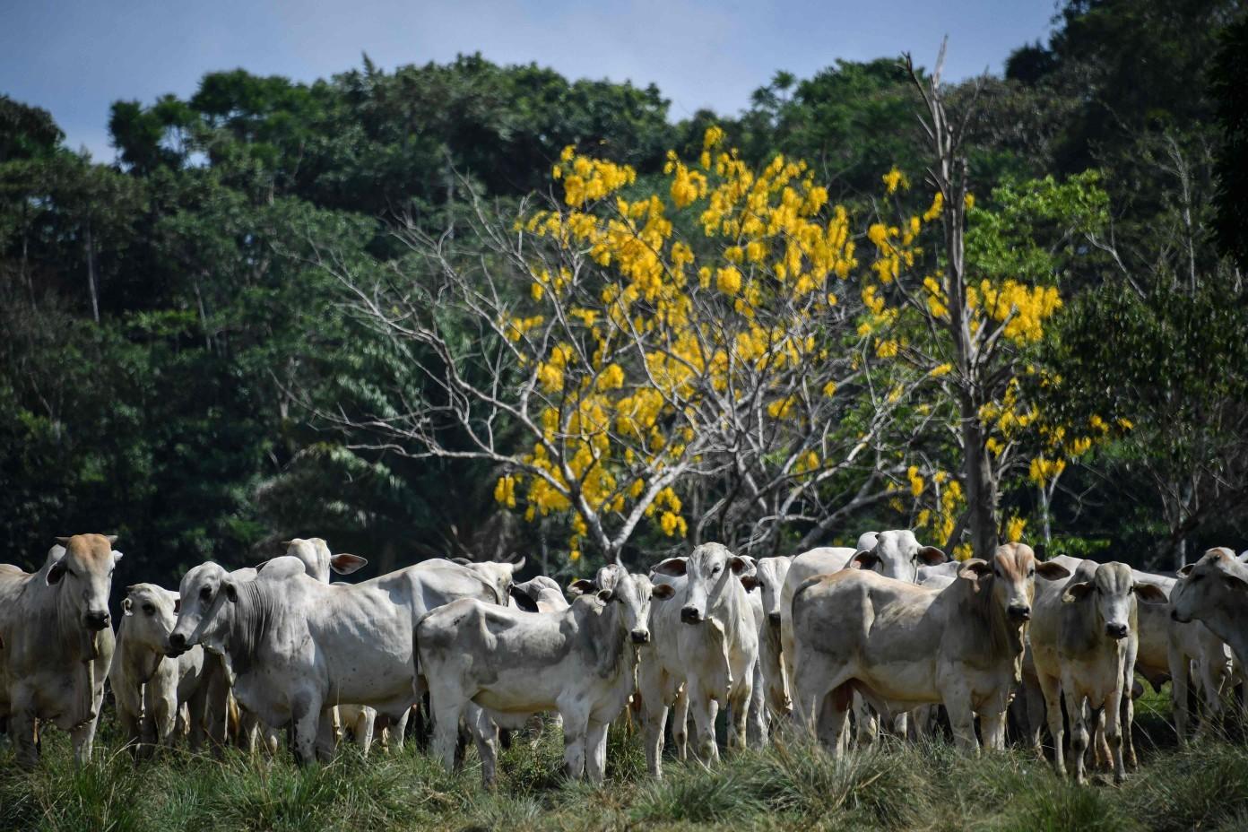 Gado em fazenda na cidade de Rurópolis, no Pará, em 2019