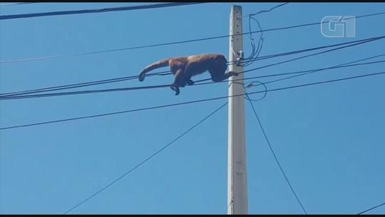 Morador flagra macaco bugio andando na fiação elétrica em Sorocaba