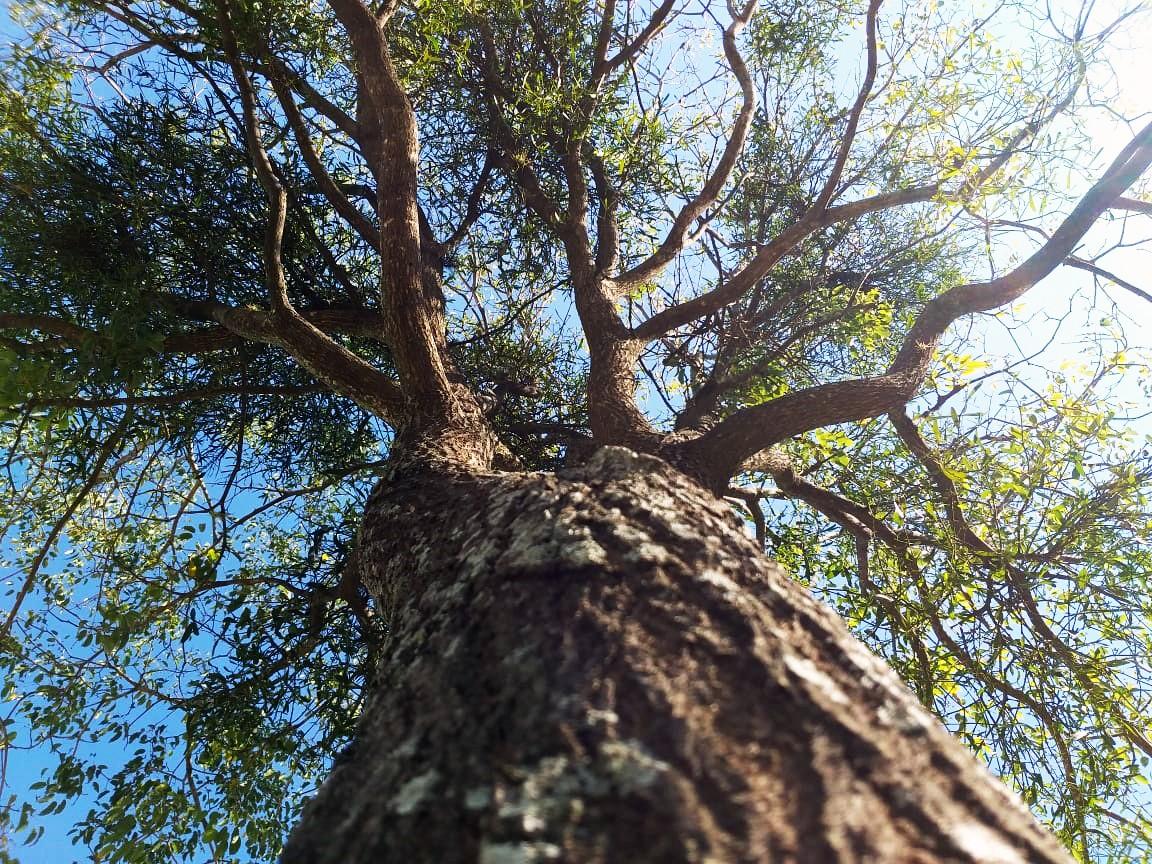 Programação da Semana da Árvore conta plantio de mudas e drive-thru educativo em Presidente Prudente