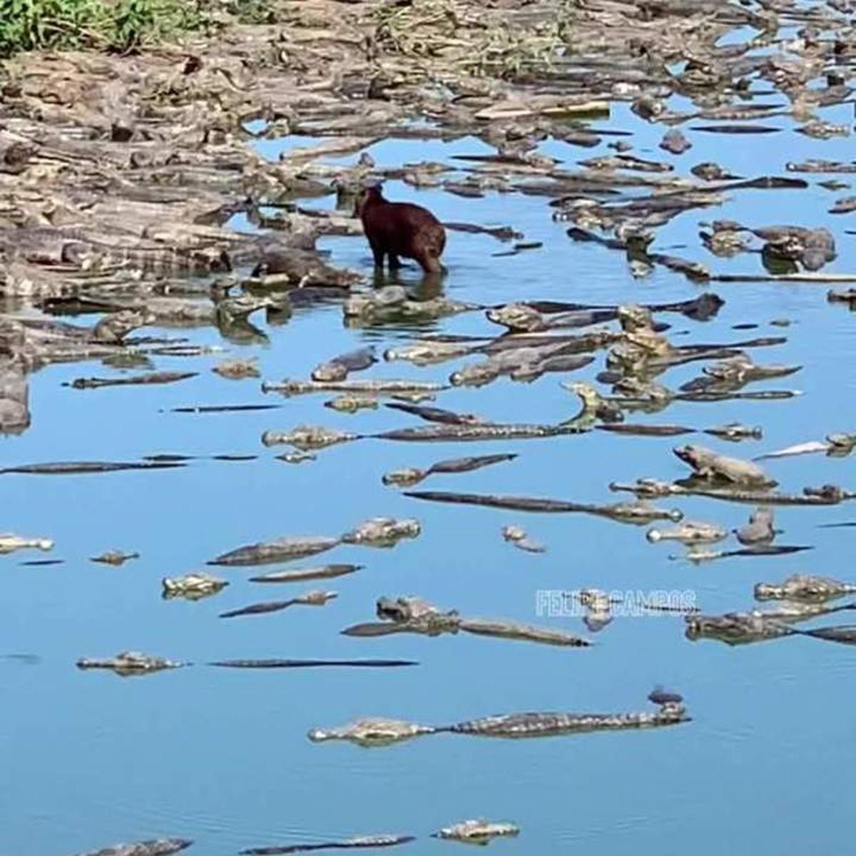 Capivara anda tranquilamente em meio a vários jacarés no Pantanal de MT; veja vídeo