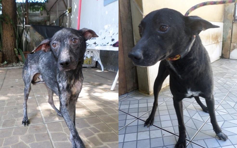 Antes e depois de um dos cerca de 30 animais recolhidos pela ONG União Internacional Protetora dos Animais (UIPA) (Foto: Divulgação/UIPA)