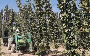 A colheita do lúpulo, ingrediente da cerveja