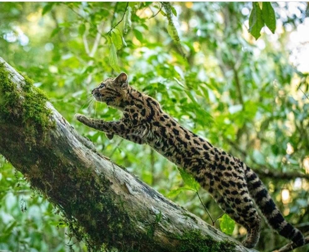 Gato-maracajá ocorre em áreas de mata ciliar e próximo aos arrozais — Foto: Felipe Peters/Arquivo Pessoal