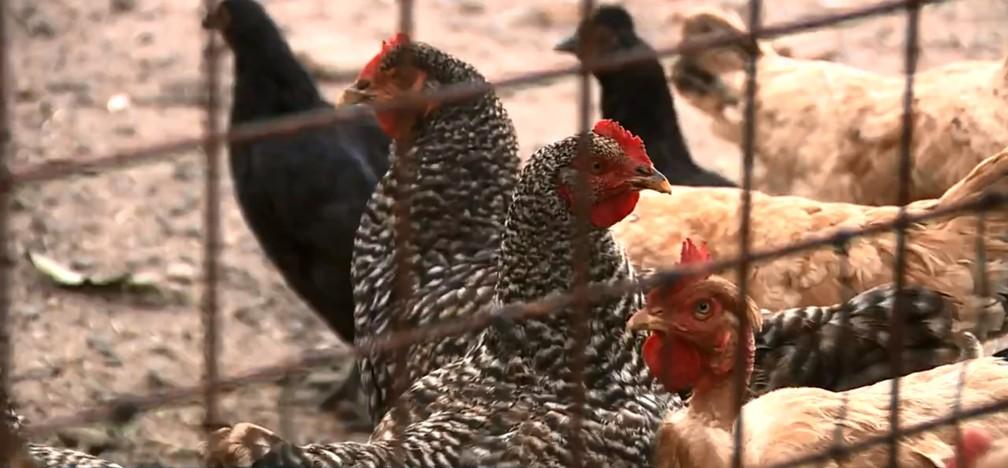 Moradores criam galinhas para 'caçar' escorpiões em terreno de Piracicaba — Foto: Reprodução/EPTV