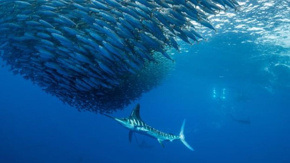 O atum está entre as espécies que sofrem com a redução da concentração de oxigênio nos oceanos, conforme a IUCN — Foto: Divulgação/IUCN/BBC