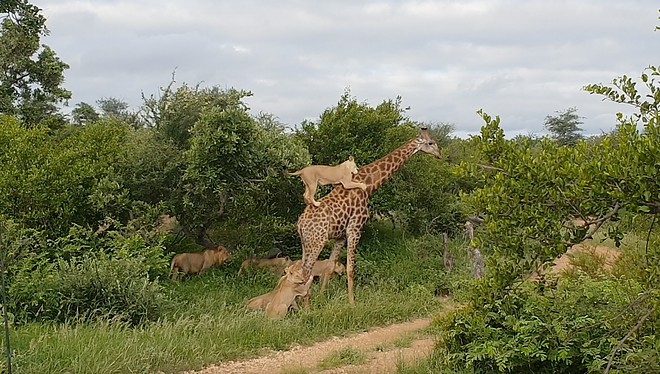 Vídeo mostra conflito de girafa com alcateia de leões (Foto: Reprodução/Youtube)