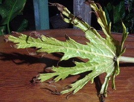 mamoeiro-ataque-ácaro-gr responde (Foto: Mariana Brito)