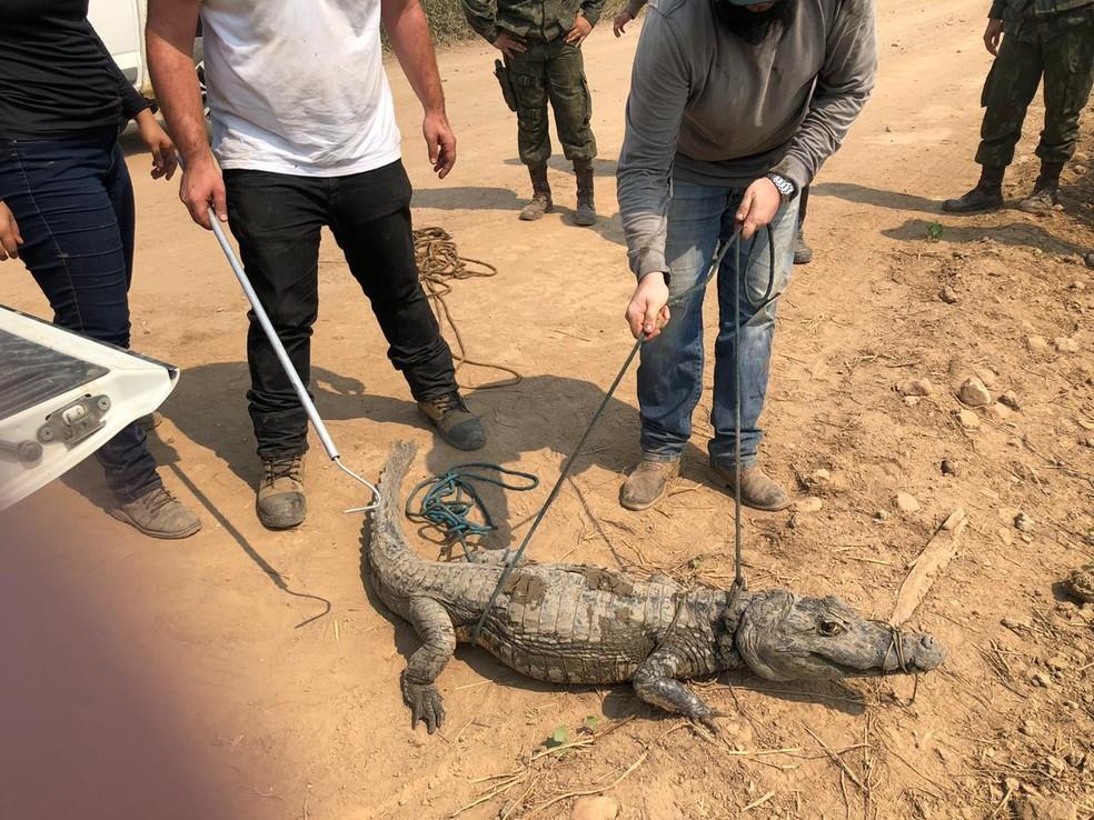 Voluntários fazem o resgate de animais no Pantanal — Foto: Arquivo pessoal
